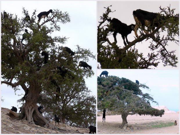 Maroko kozy